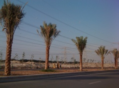 Palm trees being planted 26 November 2012